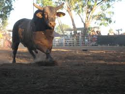 rodeo bull charging.  Rodeo Bull Charging At Jim  With Rodeo B