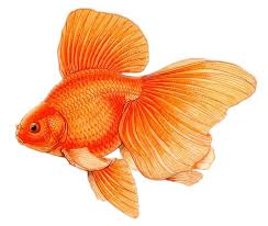 Image result for goldfish drawing