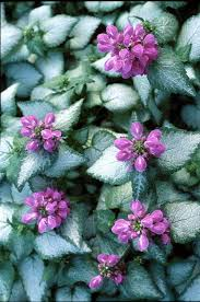 dead nettle lamium maculatum is notable for both its variegated foliage and its dense cers of flowers which appear in a variety of colors
