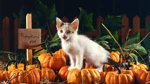 Image result for cats and pumpkins pictures