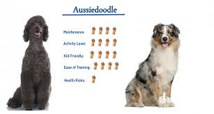 Aussiedoodle Size Chart Aussiedoodle Everything You Need To Know At A Glance