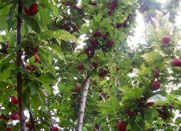 Fruit Tree Wikipedia