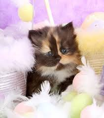 dilute calico kittens for sale. Exellent Sale Calico Teacup Persian Kitten On Dilute Kittens For Sale