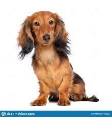 Dachshund Dog Isolated On White ...