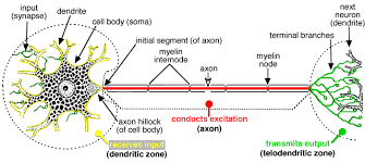 Neuron Structure And Classification Ch 12 Nerves Audra T