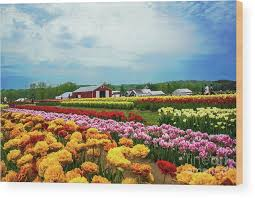 tulip festival new jersey wood print featuring the photograph tulip and farm landscape n j by regina