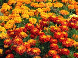 <b>Бархатцы</b>: выращивание из семян, посадка и уход, сорта и ...