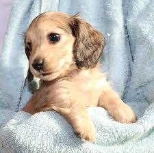 cheniesvilla a breeder of pedigree long