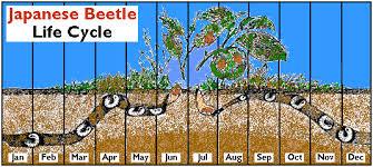 japanese beetles life cycle the japanese beetle website