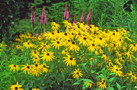 Image result for photos black eyed susan
