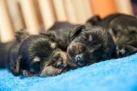 Raising Newborn Puppies American Kennel Club