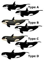 Whales By Size Chart Killer Whale Wikipedia