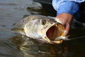 Favorite Saltwater Fish In North Carolina