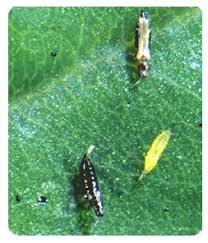 garden pest. Thrips Stages On Leaf - Garden Pests Pest