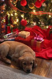 ... under his Christmas tree His new 8 week old Golden Retriever puppy.