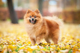 pomeranian playing in leaves
