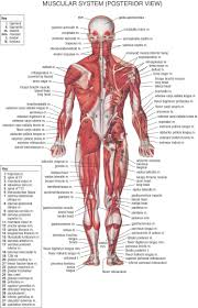 Labelled Diagram Of The Human Muscular System Human Body Diagram ...