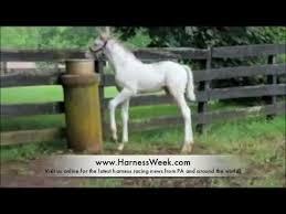white baby horses playing. Wonderful Playing With White Baby Horses Playing O