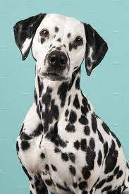 Portrait of a dalmatian dog