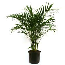 Delray Plants Cateracterum Palm in 9-1/4 in. Pot