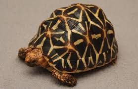 Indian Star Tortoise Diet Chart Indian Star Tortoise Facts Information Hd Pictures And All