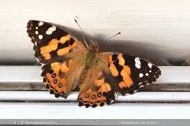 Small Moths In Bedroom Painted Lady Vanessa Kershawi Julies Butterflies