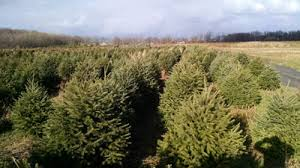 If you want to cut down your own christmas tree, follow the steps below: