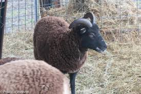 The Soay Sheep Chronicles