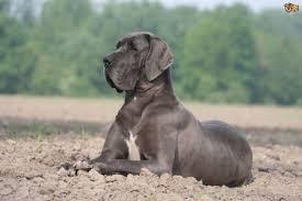 Great Dane Food Chart Correctly Feeding A Great Dane Dog Pets4homes