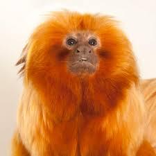 Golden Lion Tamarin Monkey Coloring Pagesl L