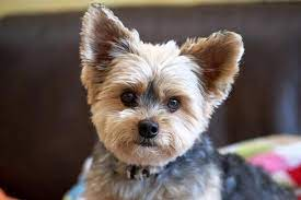 The hair on the body is cut shorter, and the hair on the face, ears are cut a little longer. Diy Yorkie Grooming Tips Figo Pet Insurance