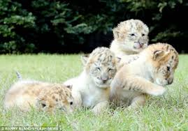 cute baby liger. Interesting Liger The Big Cat Sanctuary Where These Adorable Babies Make Their Home Does Some  Truly Amazing Work If You Want To See The Cubs In Action Sure Watch  With Cute Baby Liger E