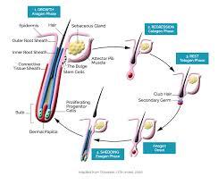 hair follicle biology stemson