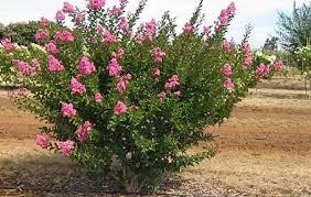 Flowering Shrubs  Brady NurseryShrub With Pink Flowers