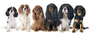 Cavalier Weight Chart Best Harness For Your Cavalier King Charles Spaniel Our Top 6