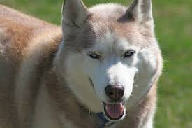 siberian husky wolf mix. Simple Husky Little Red Riding Hood Is Safe With Me To Siberian Husky Wolf Mix F