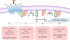 Gpcr Signaling Engineering Therapeutic Antibodies Targeting G Protein