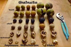 harvesting black walnuts. Modren Harvesting Husk Shell And Nutmeat Comparison For 3 Species Of Walnut Intended Harvesting Black Walnuts L