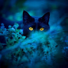 black cat with blue eyes tumblr. Interesting Black Ovinnik In Slavic Mythology Was The Spirit Of Barnu2014from Ovin Barnu2014  Who Looked Like A Large Black Cat With Fiery Eyes But Had Fierce Bark Dog To Black Cat With Blue Eyes Tumblr O