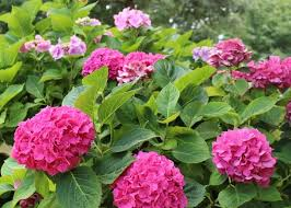 Hydrangeas How To Plant Grow And Prune Hydrangea Shrubs