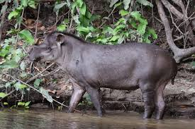 amazon river animals. Perfect Amazon Wikimedia Commons Lowland Tapir Standing Along The Bank Of A River Throughout Amazon River Animals N