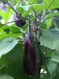 Kitchen Garden Seeds Planting Notes Chillies Capsicums Eggplant Suburban Tomato