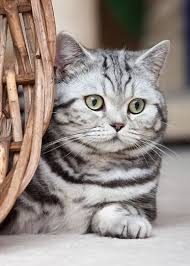 british shorthair silver tabby american shorthair kitten tellement mignon short hair cats
