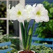gift amaryllis bulb