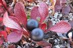Images & Illustrations of alpine bearberry