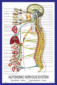 Chiropractic Wall Charts Autonomic Nervous System Poster Parker University Bookstore