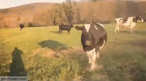 excited animal gif. Wonderful Gif Do Cows Get Excited And Excited Animal Gif