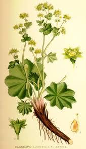 File:Nordens flora Alchemilla vulgaris.jpg - Wikimedia Commons