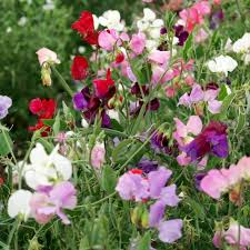 knee high mix sweet pea