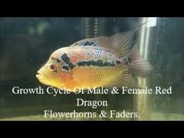 2018 Growth Cycle Of Male Female Red Dragon Flowerhorn Fader Cichlid Fish Plus Some Tips